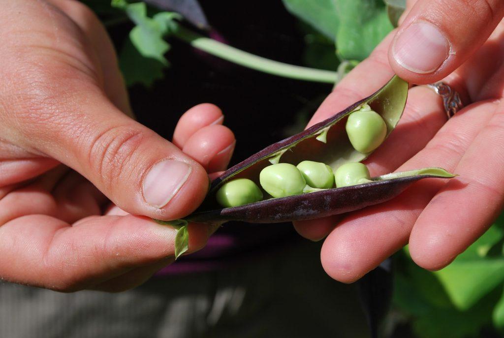 erwten - plantaardige eiwitbron